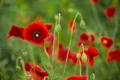 Wild poppies. Blooming on the field Stock Images