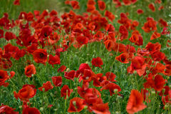 Wild poppies. Blooming on the field Royalty Free Stock Images