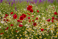 Wild poppies. Blooming on the field Royalty Free Stock Photo