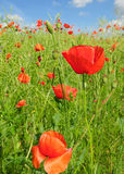 wild poppies and blue sky Royalty Free Stock Photo