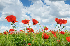 Wild poppies and blue sky Stock Photos