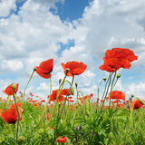 Wild poppies and blue sky Stock Images