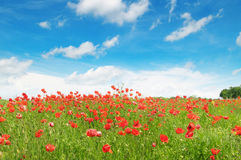 wild poppies and blue sky Royalty Free Stock Photography