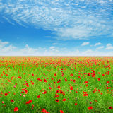 Wild poppies and blue sky Stock Image