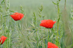 Wild poppies Royalty Free Stock Photo