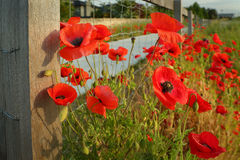 Wild Poppies and Fence Stock Photos