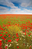 Wild poppies field Stock Photos