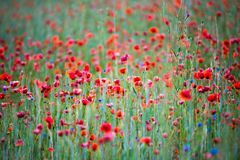 Wild poppies field royalty free stock images