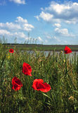Wild poppies in a field on a background of the clouds Royalty Free Stock Photo