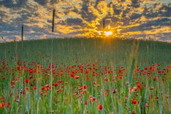 Wild poppies field and beautiful sunrise cloudy sky. Wild poppies field around grout field stock photo