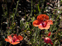 Wild poppies in the field with flying honey-bee Royalty Free Stock Photos