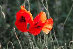 Wild poppies in the field Stock Photos