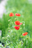 Wild poppies field. Wild red poppies field closeup stock photos