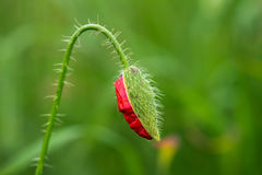 Wild poppies in a field - selective focus, copy space Royalty Free Stock Photography
