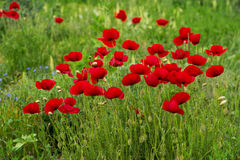 Wild poppies in a field - selective focus, copy space Stock Images