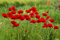 Wild poppies in a field - selective focus, copy space Royalty Free Stock Photos