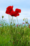 Wild poppies in a field - selective focus, copy space, vertical orientation Stock Photo