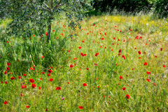 Wild Poppies in a Field in Tuscany Royalty Free Stock Images
