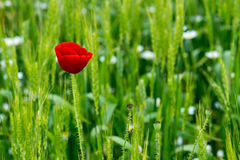 Wild poppies in a field of wheat Royalty Free Stock Photo