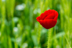 Wild poppies in a field of wheat Stock Photo
