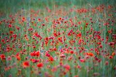 Wild poppies field stock image