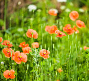 Wild poppies growing Stock Images