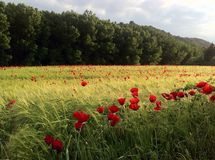 Wild Poppies growing in a wheat field in northern Spain. stock images