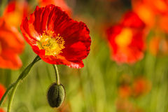 Wild poppies Stock Photos