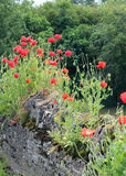 Wild poppies growing on stone wall. Royalty Free Stock Image