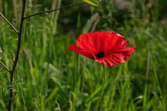 Wild poppies highlight its beautiful color in the meadow. And its red petals make a beautiful contrast with the grass royalty free stock images