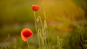 Wild poppies in light rain stock footage