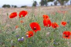 Wild poppies on the meadow Royalty Free Stock Images