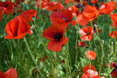 Wild poppies in meadow Stock Photo