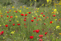 Wild poppies on a meadow. Stock Image