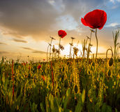Wild Poppies Morning. Wild poppies in a field at sunrise with an overcast sky stock images