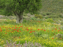 Wild poppies and olive tree Royalty Free Stock Photography