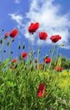 Wild poppies (Papaver rhoeas) stock image