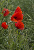 Wild Poppies and Poppy heads Royalty Free Stock Photography
