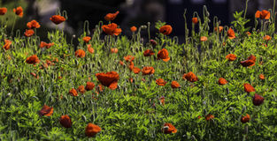 Wild Poppies, Portugal Royalty Free Stock Photography