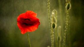 Wild poppies in rain closeup stock footage