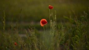 Wild poppies stock video
