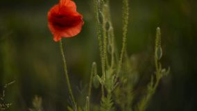 Wild poppies stock footage