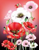 Wild poppies. Red, pink and white poppies with seed pods and buds on red background Royalty Free Stock Photo