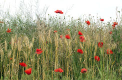 Wild poppies - RAW format royalty free stock images