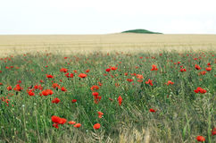 Wild poppies - RAW format Stock Images