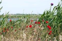 Wild poppies - RAW format Stock Photos