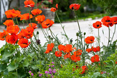 Wild Poppies by the road Stock Photos