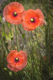 Wild Poppies in Scotland. Wild Poppies on the Muir of Dinnet in Scotland royalty free stock photography