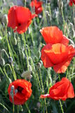 Wild poppies and snails. Snails climb the red poppies in full bloom Royalty Free Stock Images