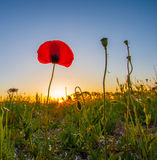 Wild Poppies And Sunrise II Royalty Free Stock Image